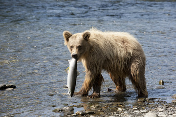 A Young Brown Bear Looks At Camera While Walking In The Russian River And Holding A Sockeye Salmon Stolen From A Fisherman's Line, Kenai Peninsula, Southcentral Alaska, Summer