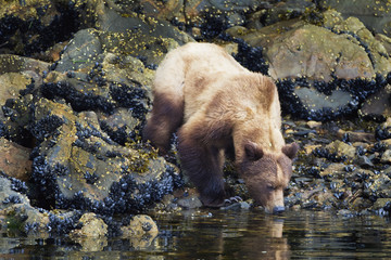 Grizzly bear drinking water, British Columbia, Canada