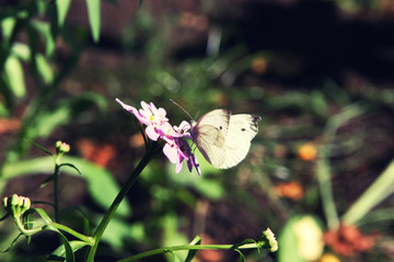 Cabbage butterfly sitting on pink flower close up in summer