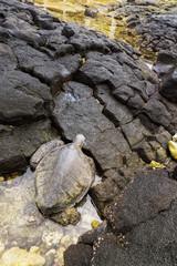 A green sea turtle (Chelonia mydas) climbs onto the rocks from a tide pool; Kona, Island of Hawaii, Hawaii, United States of America