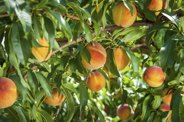 Peaches on a branch; Westminster, Maryland, United States of America