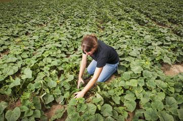 Young female farmer checking cucumbers at a cucumber farm, near Federalsburg; Maryland, United States of America