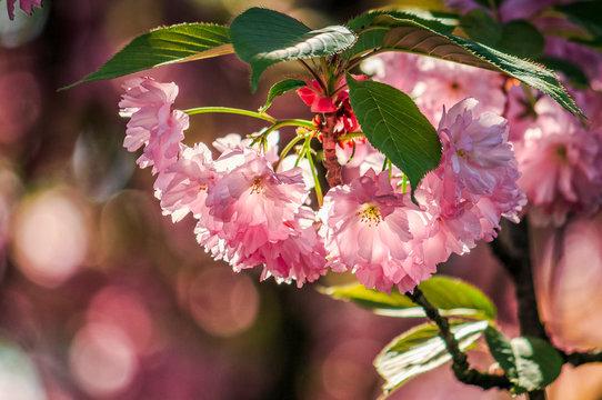 Japanese cherry flower blossom in spring