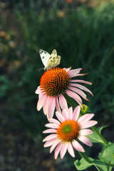 The cabbage butterfly sitting on pink with orange coneflower