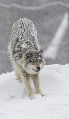 Grey wolf (Canis lupus) stretching before playing in the snow; Montebello, Quebec, Canada
