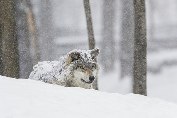 Grey wolf (Canis lupus) during a snow storm; Montebello, Quebec, Canada