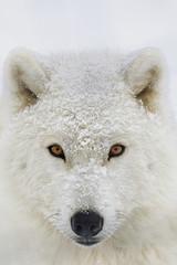 Arctic wolf (Canis lupus arctos) portrait; Montebello, Quebec, Canada