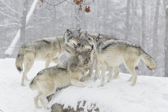Wolf pack playing on snow, Montebello, Quebec, Canada