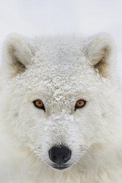 Portrait of arctic wolf, Montebello, Quebec, Canada