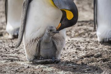 King penguin (Aptenodytes patagonicus) bending towards chick between feet; Antarctica