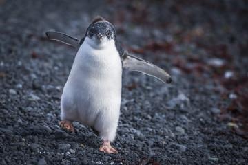 Adelie penguin chick waddling on stones, Antarctica