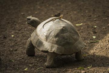 Galapagos giant tortoise (Chelonoidis nigra) with lizard on it's shell; Galapagos Islands, Ecuador