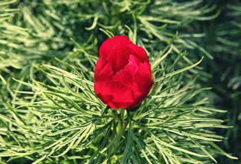 Paeonia tenuifolia (Paeonia anomala) red flower in dense green foliage