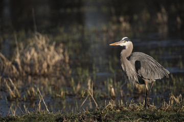 A Great Blue Heron (Ardea herodias) looks for breakfast; Ridgefield, Washington, United States of America
