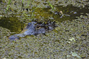 American Alligator (Alligator mississippiensis), Corkscrew Swamp Sanctuary; Florida, United States of America