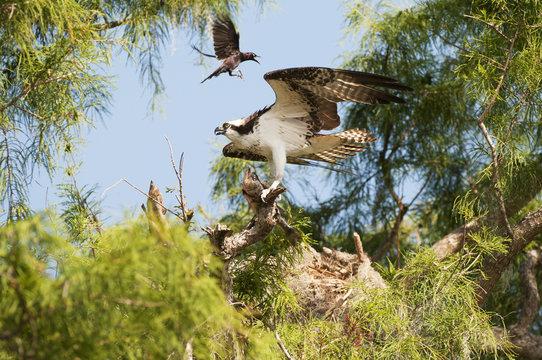 Osprey (Pandion haliaetus) with largemouth bass harrassed by grackle; Sebring, Florida, United States of America