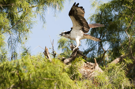 Osprey (Pandion haliaetus) with largemouth bass; Sebring, Florida, United States of America