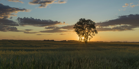 Silhouette of a tree with a golden sky at sunrise on a rural landscape; Lorette, Manitoba, Canada
