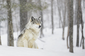 A wolf sitting in a snowfall in a forest