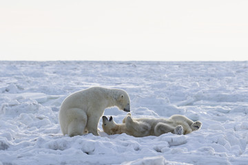 Polar bears (ursus maritimus) sparring on the coast of Hudson Bay; Churchill, Manitoba, Canada