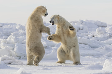 Polar bears sparring on snow, Manitoba, Canada
