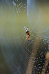 An orb weaver spider (Araneus diadematus) tends her web; Astoria, Oregon, United States of America
