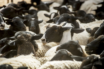 Sheep on a farm; Namibia