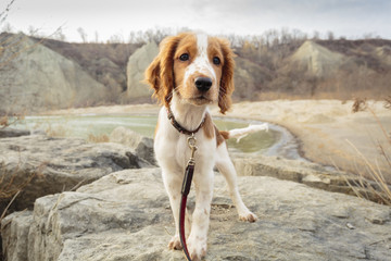 Welsh Springer Spaniel puppy at Bluffers Park; Scarborough, Ontario, Canada