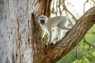 Vervet Monkey (Chlorocebus pygerythrus), Kruger National Park; South Africa