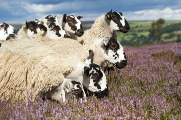 Mule gimmer lambs out of Dalesbred sheep on heather moorland above Pateley Bridge; North Yorkshire, England