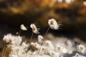 Tufts of Cottongrass (Eriophorum) backlit by the sun; Noatak, Alaska, United States of America