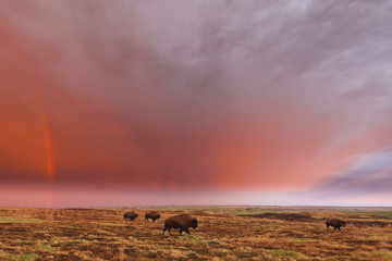 American bison (bison bison) and rainbow after the storm at Cross Ranch Preserve; North Dakota, United States of America