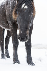 Curious Mustang peers towards the camera while standing in a snowy field during a snowfall; Turner Valley, Alberta, Canada