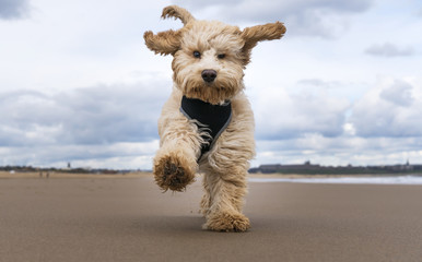 Cockapoo running on beach, South Shields, Tyne and Wear, UK