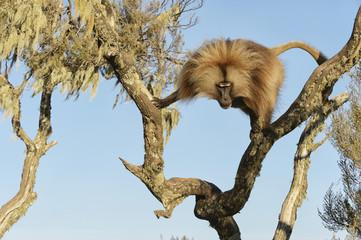 Gelada on tree, Semian mountains, Ethiopia