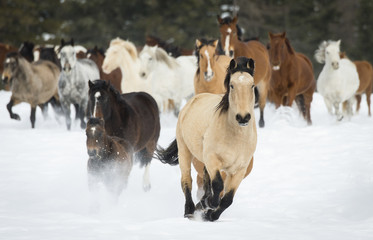 Horses running on a ranch in winter; Montana, United States of America