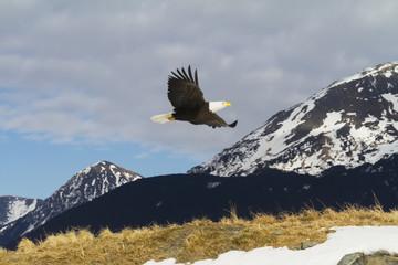 Bald eagle (Haliaeetus leucocephalus) in flight, South-central Alaska in winter; Alaska, United States of America