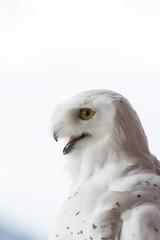 CAPTIVE: Portrait of a Snowy Owl, Southcentral Alaska