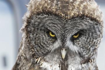 CAPTIVE: Portrait of a Great Gray Owl, Southcentral Alaska