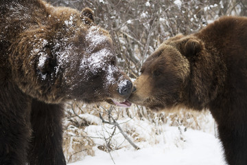 CAPTIVE: Male and female Grizzly bears greet each other with noses, Alaska Wildlife Conservation Center, Southcentral Alaska