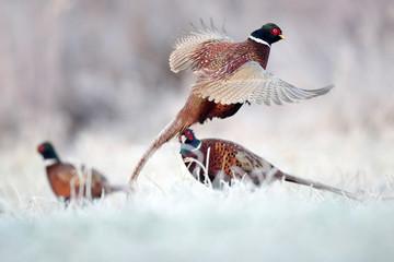 Pheasant Fototapete