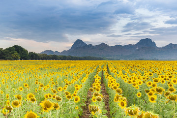 Full bloom sunflower field with mountain background, natural landscape background