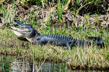 Florida Alligator in everglades close up portrait