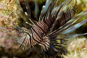Lionfish swimming by sea bed