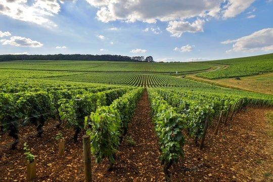 Vignoble Bourguignon en côte Chalonnaise.