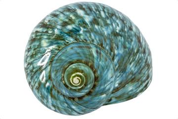 Turquoise seashell
