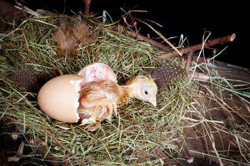 Baby chick in egg