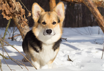 Welsh Corgi on a walk in the winter forest.