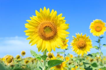 Sunflowers (Helianthus) close-up summer season