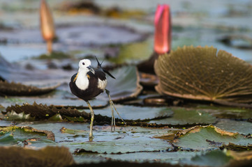 Pheasant-tailed Jacana(Hydrophasianus chirurgus), beautiful bird Standing on lotus leaf.